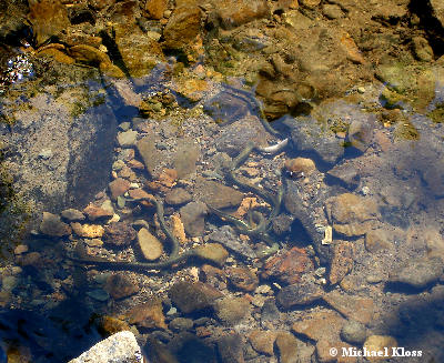 Bachneunaugen for Lebensraum fische